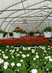 greenhouse_with_geraniums